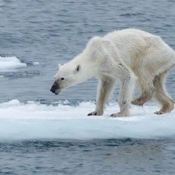 emaciated polar bear